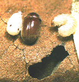Cigarette Beetle Adult and Larvae