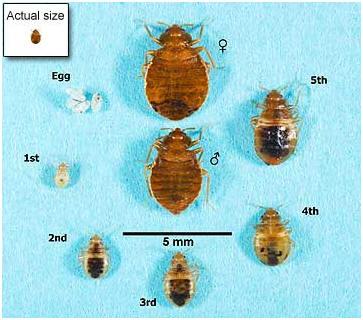Baby Cockroach Vs Bed Bug : Baby Cockroach Vs Bed Bug Life cycle of the bed bug,