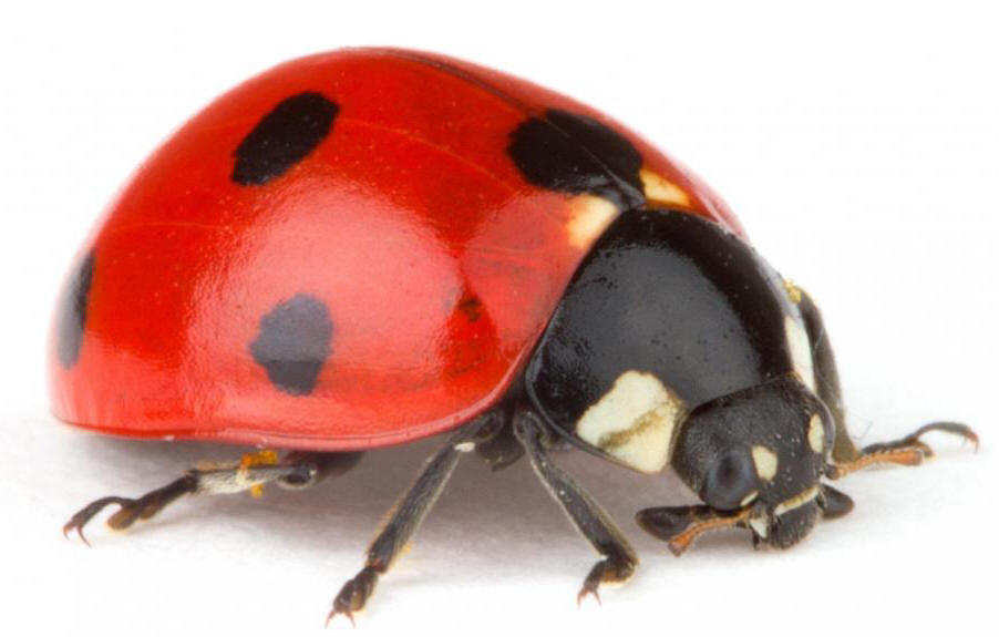 Pictures Of Ladybugs 43