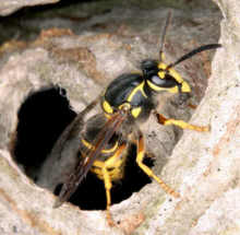 Bees Hornets Wasps Pest Control Canada