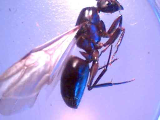carpenter ant reporductive female