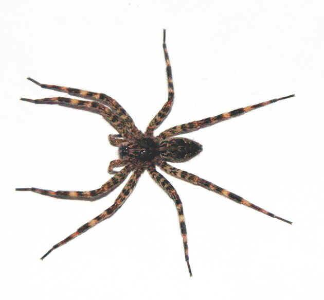 http://www.pestcontrolcanada.com/Questions/2%20inch%20spider.jpg