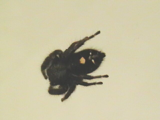 Small Black Fuzzy Spider http://www.pestcontrolcanada.com/Questions/pest_photos_401.htm