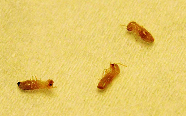 small brown bugs in bathroom