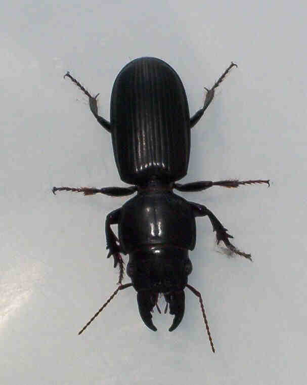 black beetle with pinchers on head pictures to pin on pinterest