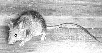 House Mouse (Mus musculus).  Photo by John L. Tveten, courtesy of Texas A&M University Press.